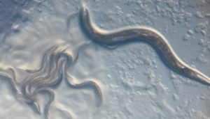 water_parasites