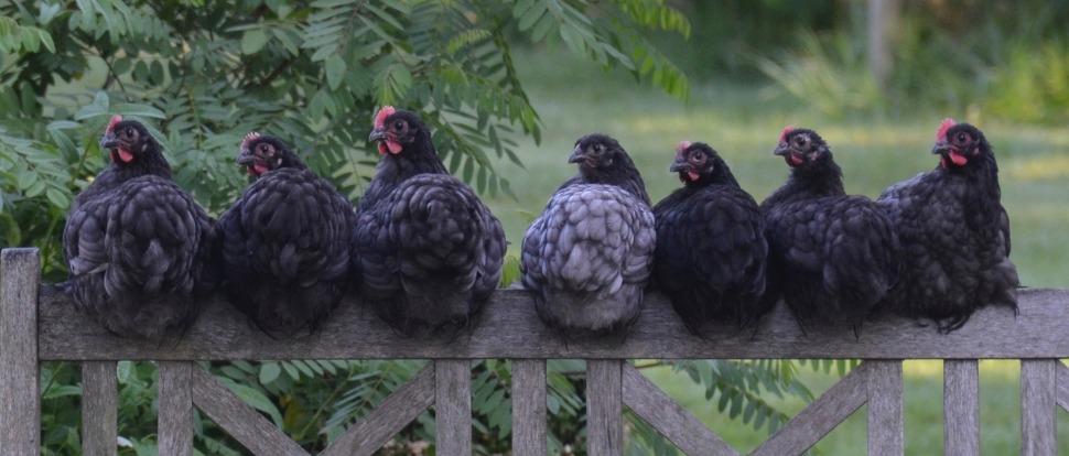 chicken-2742352_1920