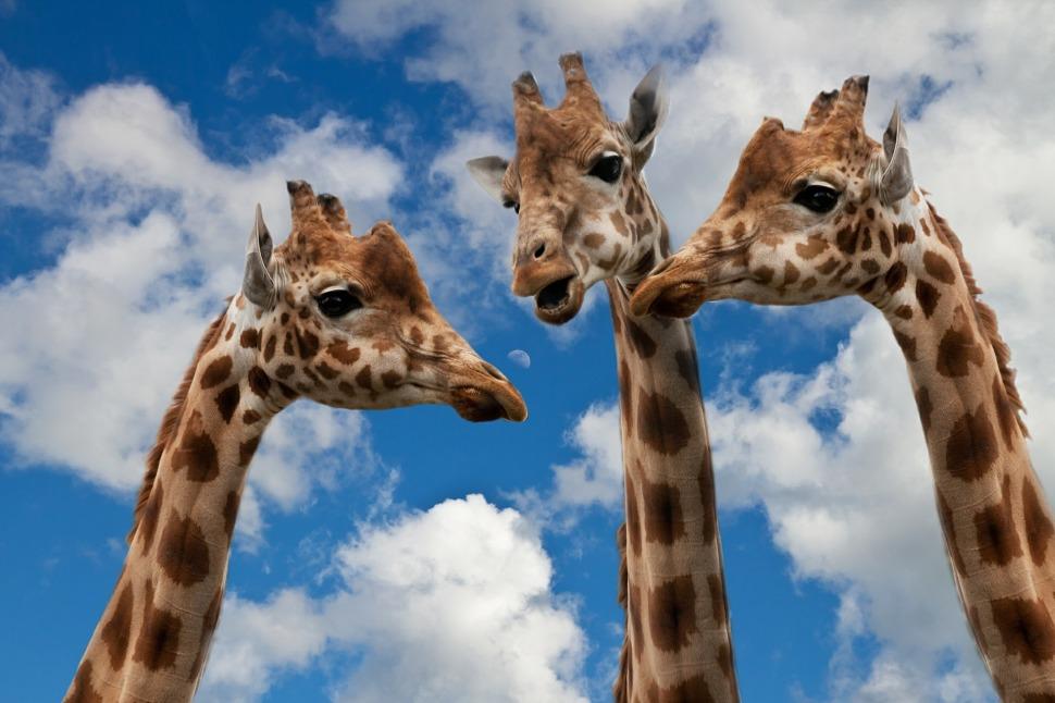 giraffes-627031_1920.jpg